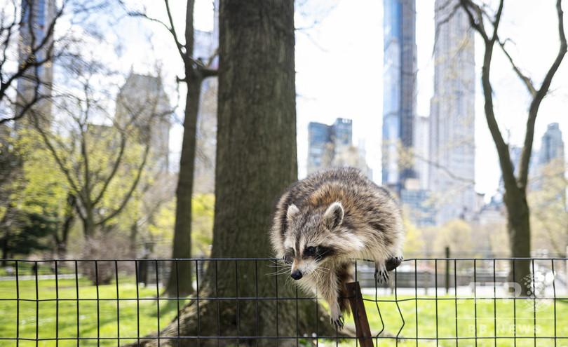 フェンスを乗り越えるアライグマ。米ニューヨークの閑散としたセントラルパークにて(2020年4月16日撮影)。(c)Johannes EISELE / AFP